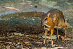 Mouse,deer,Mouse-deer In zoo of Thailand. Mouse-deer In zoo of Thailand Royalty Free Stock Images