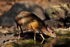 Mouse-deer,native animal to Southeast Asia. This is under natural forest where it can feed water in the summer Royalty Free Stock Photos