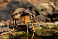 Mouse-deer in natural forest. Mouse-deer,native animal to Southeast Asia Stock Photos