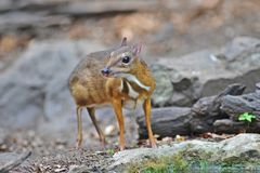 Mouse-deer in natural forest Royalty Free Stock Photos