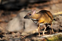 Mouse-deer in natural forest. Mouse-deer,native animal to Southeast Asia Royalty Free Stock Photo