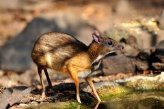 Mouse-deer in natural forest. Mouse-deer,native animal to Southeast Asia Royalty Free Stock Photos