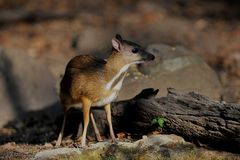 Mouse-deer in natural forest. Mouse-deer,native animal to Southeast Asia Stock Photo
