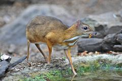 Mouse-deer in natural forest. Mouse-deer,native animal to Southeast Asia Stock Photography