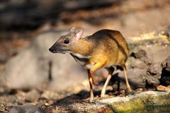 Mouse-deer in natural forest. Mouse-deer,native animal to Southeast Asia Royalty Free Stock Image