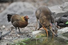 Mouse-deer and Red junglefowl. Mouse-deer,native animal to Southeast Asia,this is under natural forest where it can feed water in the summer Stock Photos
