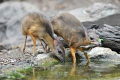 Mouse-deer and Red junglefowl. Mouse-deer,native animal to Southeast Asia,this is under natural forest where it can feed water in the summer Stock Photo