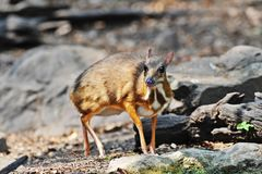 Mouse-deer and Red junglefowl. Mouse-deer,native animal to Southeast Asia,this is under natural forest where it can feed water in the summer Royalty Free Stock Images