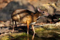Mouse-deer and Red junglefowl Stock Images