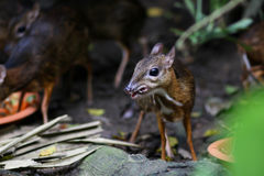 Mouse Deer Royalty Free Stock Photography