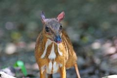 Mouse deer; small ungulates. In natural forest,Thailand Royalty Free Stock Photography