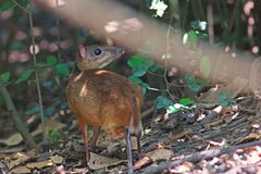 Mouse deer; small ungulates. In natural forest,Thailand Stock Images