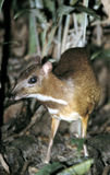 Mouse deer. Is the smallest deer Royalty Free Stock Photos