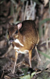 Mouse deer. Is the smallest deer Stock Photography