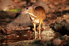Mouse deer in Thailand. Mouse deer at Kaeng Krachan National Park in Thailand Stock Photos