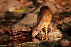 Mouse deer in Thailand. Mouse deer at Kaeng Krachan National Park in Thailand Royalty Free Stock Photography