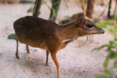 Mouse deer(Tragulus javanicus) in Bird Paradise Wildlife Park, Malaysia. Looking for a food Royalty Free Stock Photo