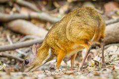 Mouse deer. (Tragulus javanicus) come to drink water in Kengkrajarn National park,Thailand stock photos
