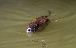 Mouse del Coypu (coypus del Myocastor) Fotografie Stock