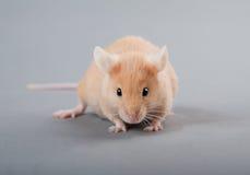 Mouse del laboratorio fotografie stock libere da diritti