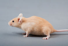 Mouse del laboratorio Fotografia Stock Libera da Diritti