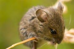 Mouse di campo Fotografia Stock Libera da Diritti