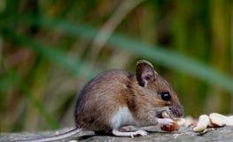 Mouse di campo Fotografie Stock Libere da Diritti