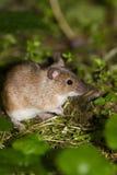 Mouse di campo a strisce, agrarius del Apodemus Fotografia Stock