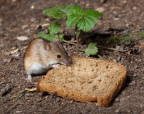 Mouse di campo a strisce, agrarius del Apodemus Immagini Stock