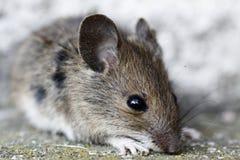 Mouse di legno Fotografia Stock