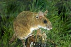 mouse di legno Giallo-con il collo Immagini Stock Libere da Diritti