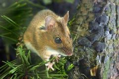 mouse di legno Giallo-con il collo Fotografia Stock Libera da Diritti