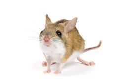 Mouse di luppolizzazione del Mitchell su una priorità bassa bianca. Fotografia Stock Libera da Diritti