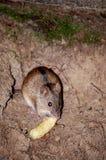 Mouse di raccolta Fotografie Stock