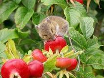 Mouse di raccolta affamato fotografia stock libera da diritti