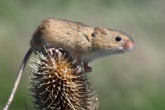 Mouse di raccolta (minutus di Micromys) Fotografie Stock Libere da Diritti