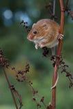 Mouse di raccolta (minutus di Micromys) Fotografia Stock