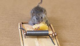 Little mouse eating a piece of cheese. royalty free stock photography