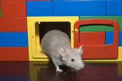 Mouse in Doorway. Mouse climbing out of a block house Royalty Free Stock Photography