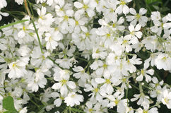 Mouse-ear chickweed white flowers Royalty Free Stock Photos