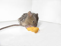 Mouse eating. Mouse nibbling on some cereal Royalty Free Stock Photos