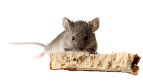 A mouse eating bread Stock Images