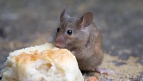 Mouse eating a cake in an urban house garden. stock footage