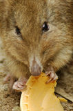 Mouse eating a cookie. A mouse nibbling on a cookie Royalty Free Stock Photography