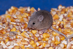 Mouse eating corn Royalty Free Stock Photo