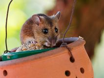 Mouse eating grains out of a bird feeder royalty free stock photo