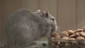 Mouse Eating, Mice, Rodents stock footage