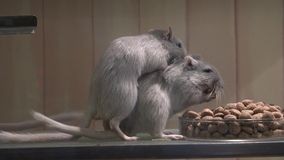 Mouse Eating, Mice, Rodents stock video