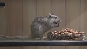 Mouse Eating, Mice, Rodents stock video footage