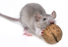 A mouse eating a nut Royalty Free Stock Image